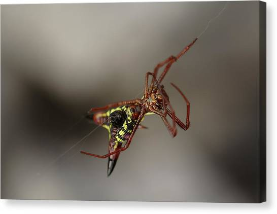 Arrow-shaped Micrathena Spider Starting A Web Canvas Print