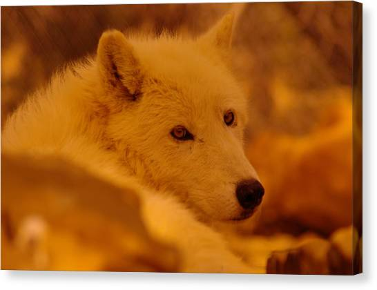 Arctic Wolf Canvas Print - Artic Wolf  by Jeff Swan