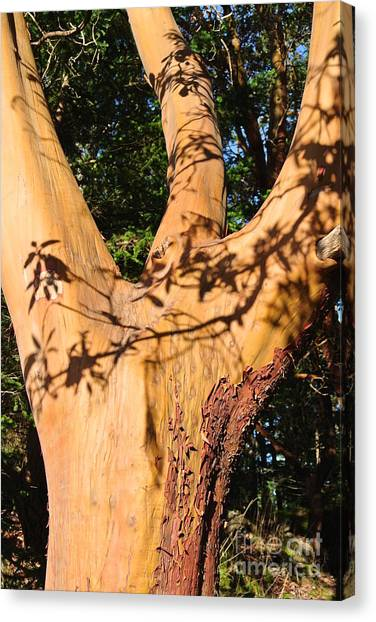 Arbutus - Shadows From Above Canvas Print
