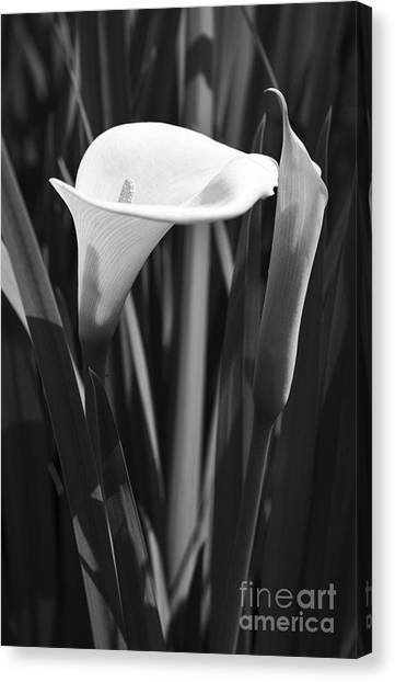 Cape Lily Canvas Print - Arum Lily by Neil Overy