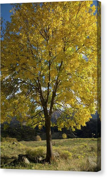 Ash (fraxinus Excelsior) Tree In Autumn Canvas Print by Bob Gibbons