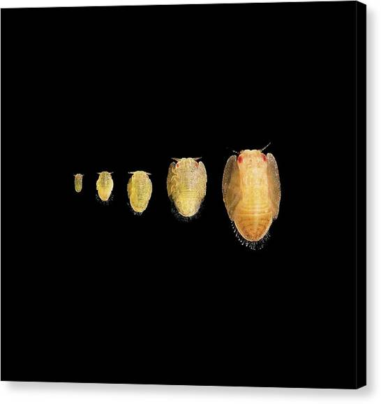 Pest Canvas Print - Asian Citrus Psyllid Nymph Development by David Hall/us Department Of Agriculture