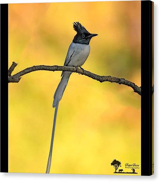 Flycatchers Canvas Print - Asian Paradise Flycatcher (terpsiphone by Nayan Hazra