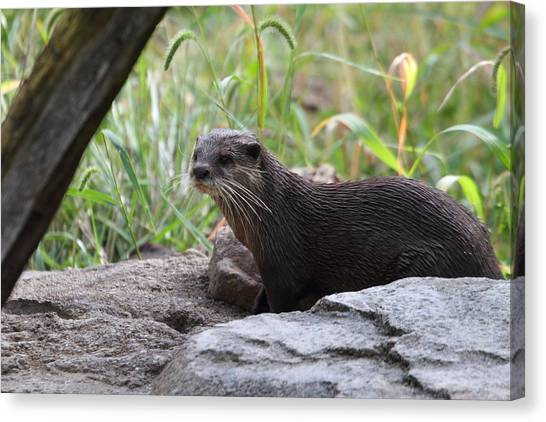 Asian Small Clawed Otter - National Zoo - 01137 Canvas Print