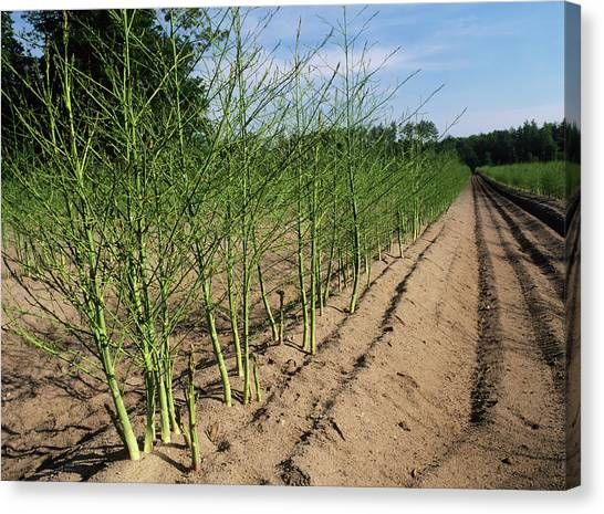 Asparagus Canvas Print - Asparagus Plants by Bob Gibbons/science Photo Library