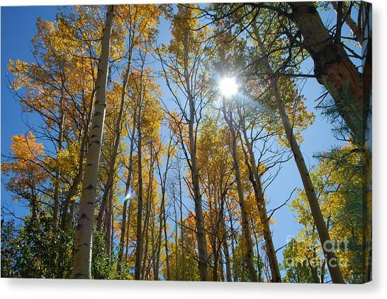 Aspen Afternoon Canvas Print by William Wyckoff