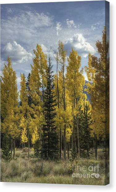 Aspen And Evergreen Canvas Print