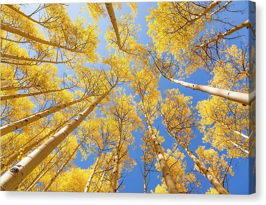 Aspen - Fall Canvas Print