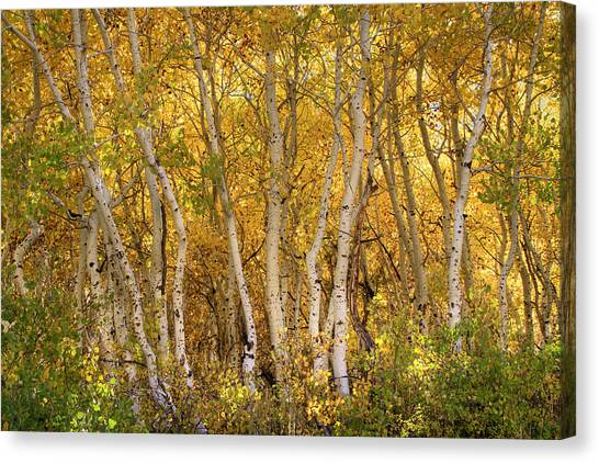 June Lake Canvas Print - Aspen Glow by Donna Kennedy