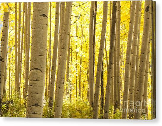 Colorado Rockies Canvas Print - Aspen Grove In Autumn by Juli Scalzi