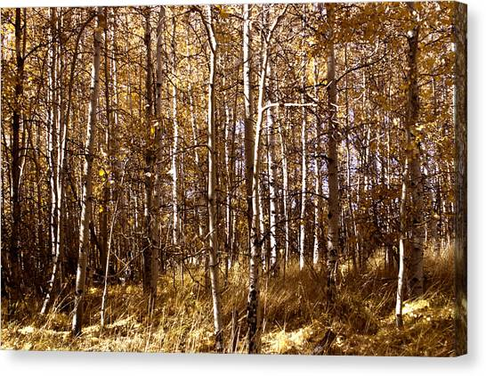 Canvas Print featuring the photograph Aspen Grove In Lake Tahoe by William Havle