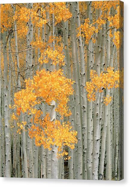 Aspen Grove Populus Tremuloides In Canvas Print