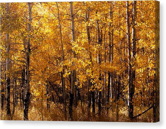 Canvas Print featuring the photograph Aspen Grove Tahoe City by William Havle