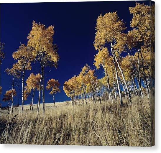 Teton National Forest Canvas Print - Aspen Grove With Peak Fall Color by David Stubbs