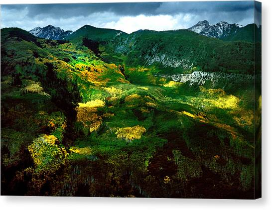 Aspen In Autumn Gold Canvas Print