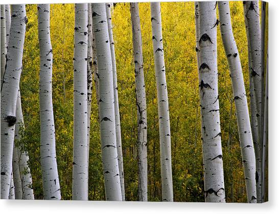 Aspen Light 3 Canvas Print