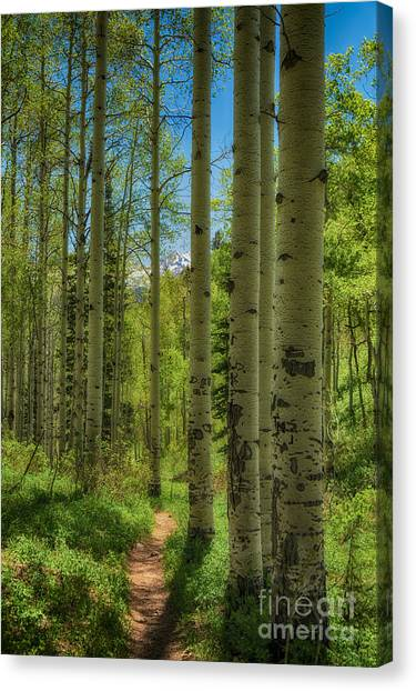Aspen Lined Hiking Trail Hdr Canvas Print by Mitch Johanson