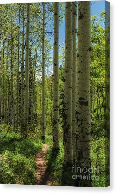 Aspen Lined Hiking Trail Canvas Print by Mitch Johanson
