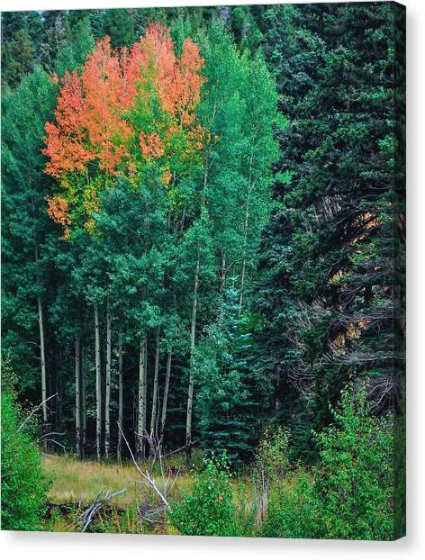 Aspen-orange Before Yellow Canvas Print by Larry Bodinson