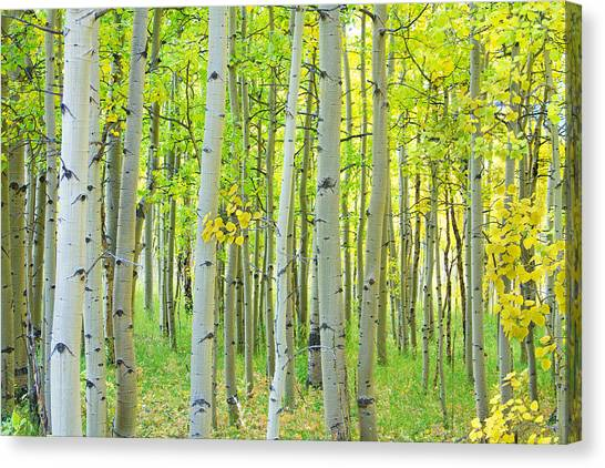 Aspen Tree Forest Autumn Time  Canvas Print