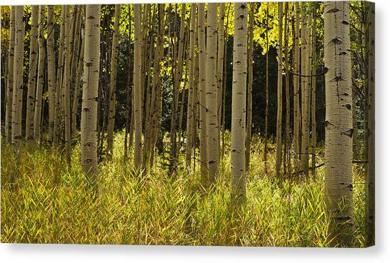 Aspen Trees All In A Row Canvas Print