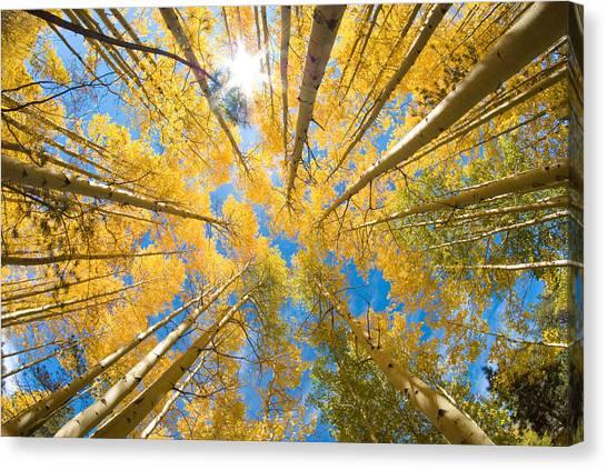 Aspen Trees Looking Up Canvas Print