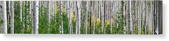 Aspen Tree Canvas Print - Aspen Trees by Steve Gadomski