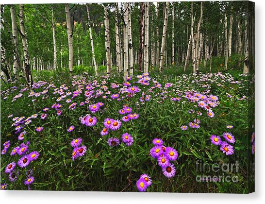 Aspens And Asters Canvas Print