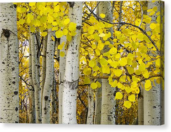 Teton National Forest Canvas Print - Aspens At Autumn by Andrew Soundarajan