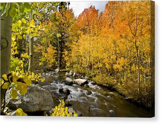 Orange Tree Canvas Print - Aspens At Bishop Creek by Cat Connor