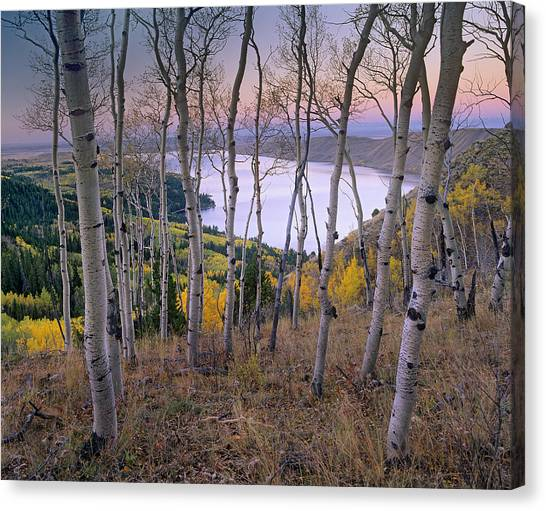 Teton National Forest Canvas Print - Aspens At Fremont Lake Bridger-teton by Tim Fitzharris