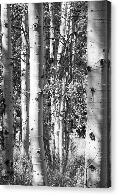 Aspens In B And W Canvas Print