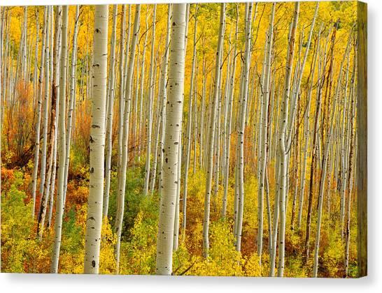 Aspens In The Colorado Rockies Canvas Print