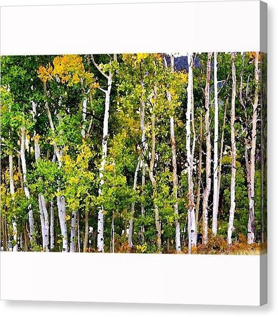 Grove Canvas Print - Aspens by Niki Crawford