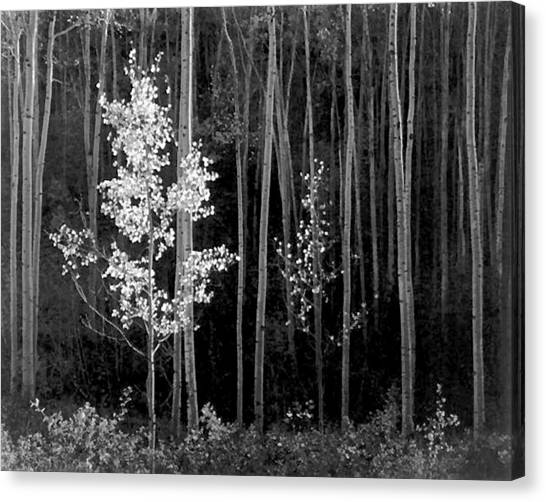 Ansel Adams Canvas Print - Aspens Northern New Mexico by Ansel Adams
