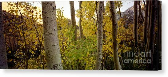 Aspens Canvas Print by Ron Smith
