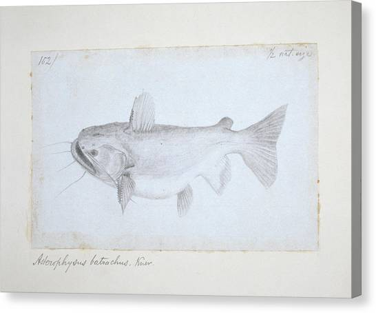 Catfish Canvas Print - Asterophysus Batrachus by Natural History Museum, London