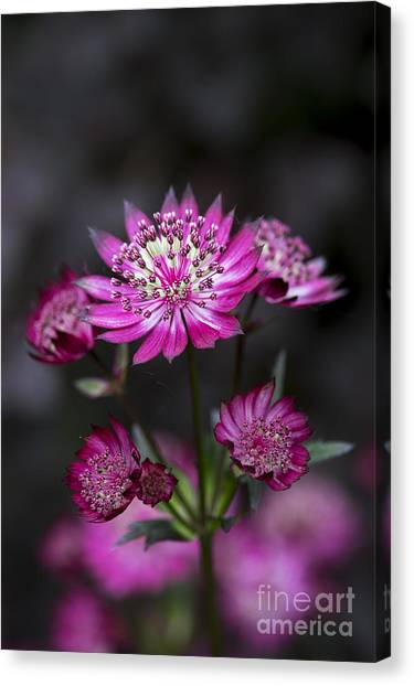 Pin Cushions Canvas Print - Astrantia Hadspen Blood Flower by Tim Gainey