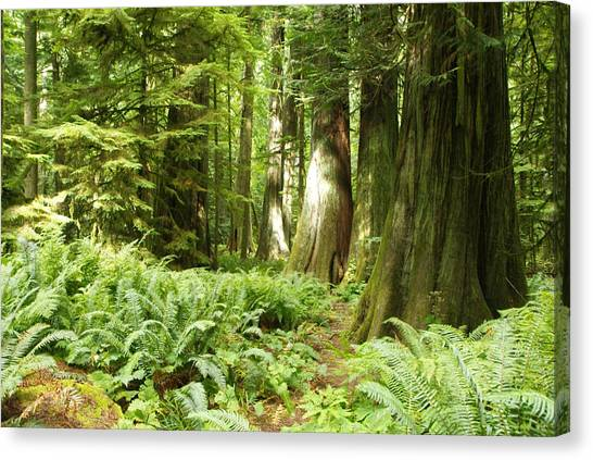 At Cathedral Grove Canvas Print