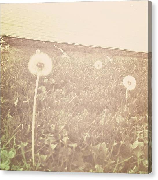 Jerseys Canvas Print - At The Bay Series #field #dandelions by Red Jersey