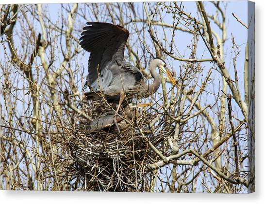 At The Heronry Canvas Print by Jill Bell