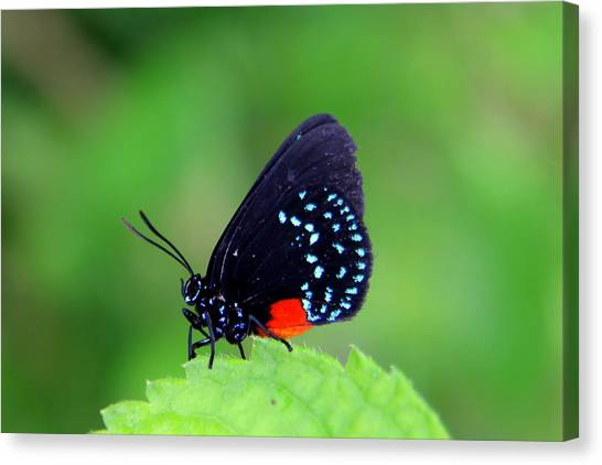 Atala Butterfly Canvas Print