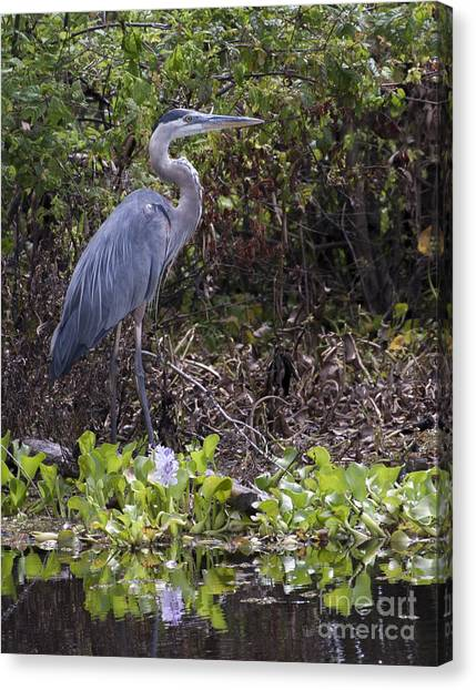 Atchafalaya Swamp Blue Heron Canvas Print
