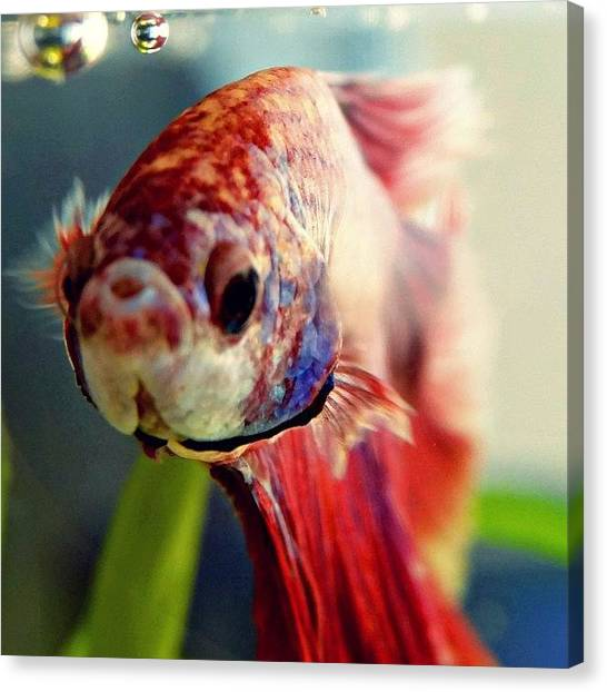 Tanks Canvas Print - Athens My Halfmoon Beta Fish by Katie Phillips