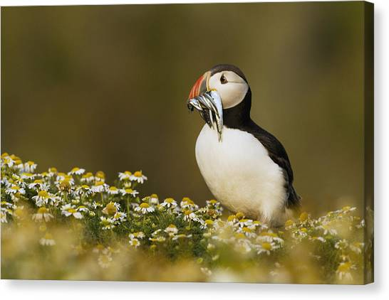 Puffins Canvas Print - Atlantic Puffin Carrying Fish Skomer by Sebastian Kennerknecht