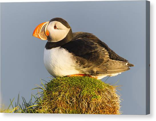 Canvas Print featuring the photograph Atlantic Puffin Iceland by Peer von Wahl