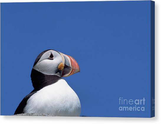 Newfoundland And Labrador Canvas Print - Atlantic Puffin In Breeding Colors by Yva Momatiuk and John Eastcott