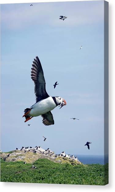 Atlantic Puffin In Flight Canvas Print by Steve Allen/science Photo Library