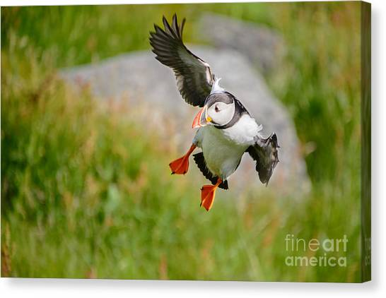 Atlantic Puffin, Incoming.... Canvas Print
