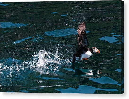 Atlantic Puffin Taking Off Canvas Print